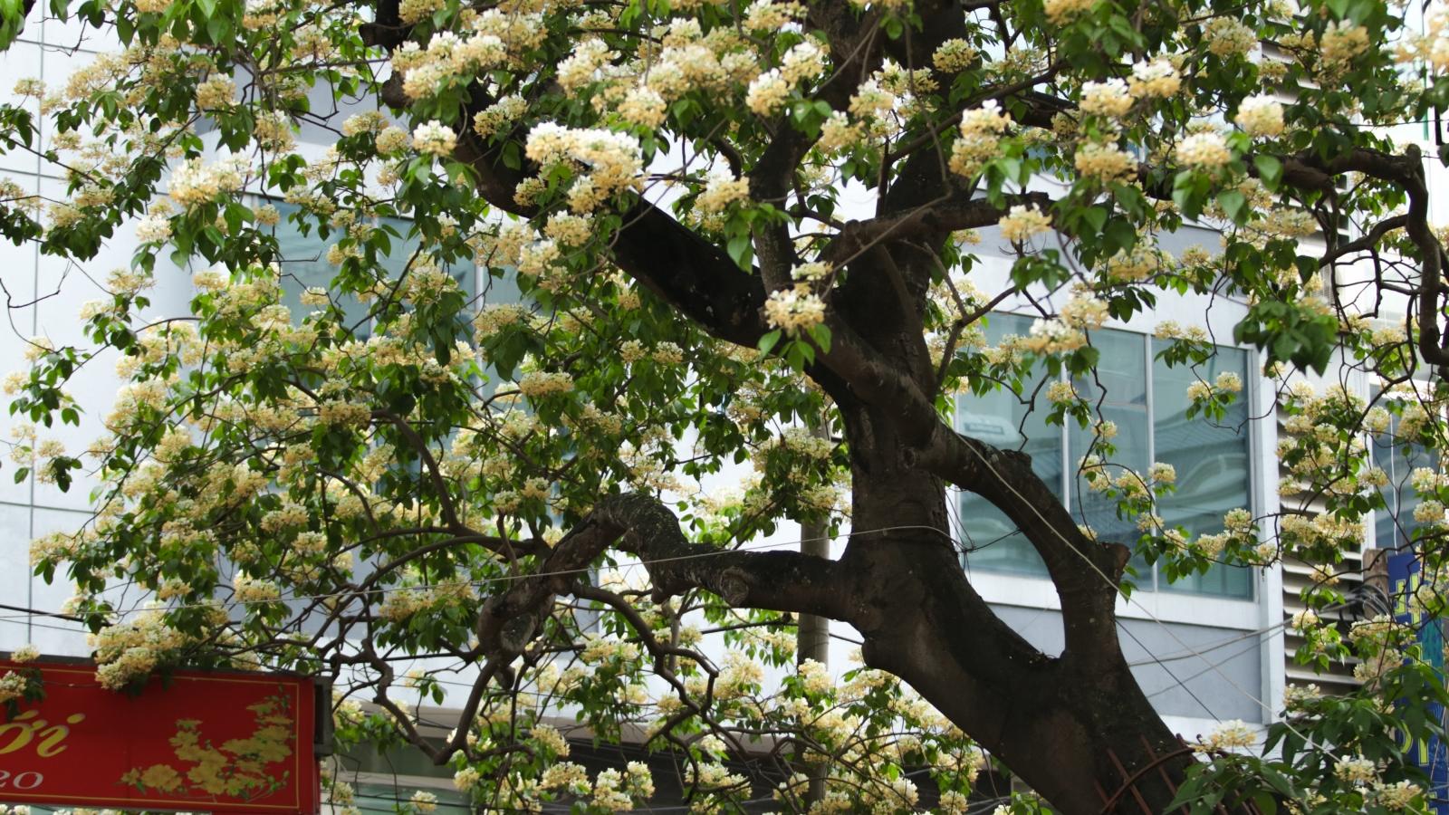 Hoa bún - Báu vật hơn 300 năm tuổi giữa Hà Nội