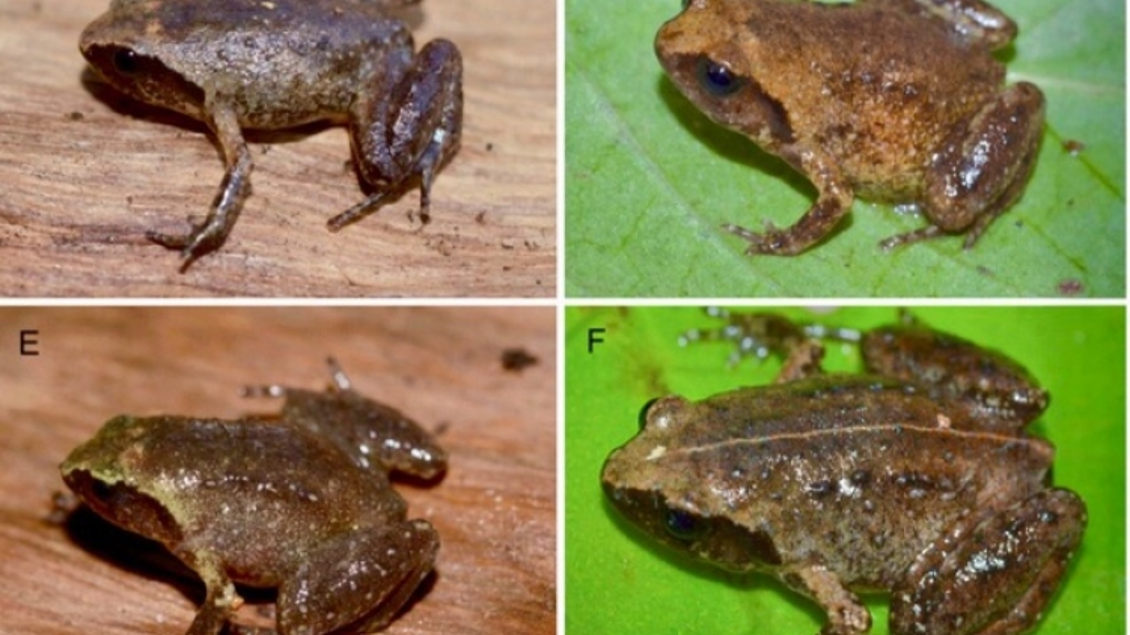 Phát hiện loài ếch lạcó kích cỡ tí hon ở Hà Tĩnh