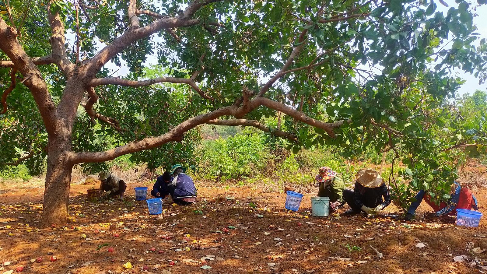 Mất mùa, mất giá, người trồng điều ở Gia Lai thiệt hại kép