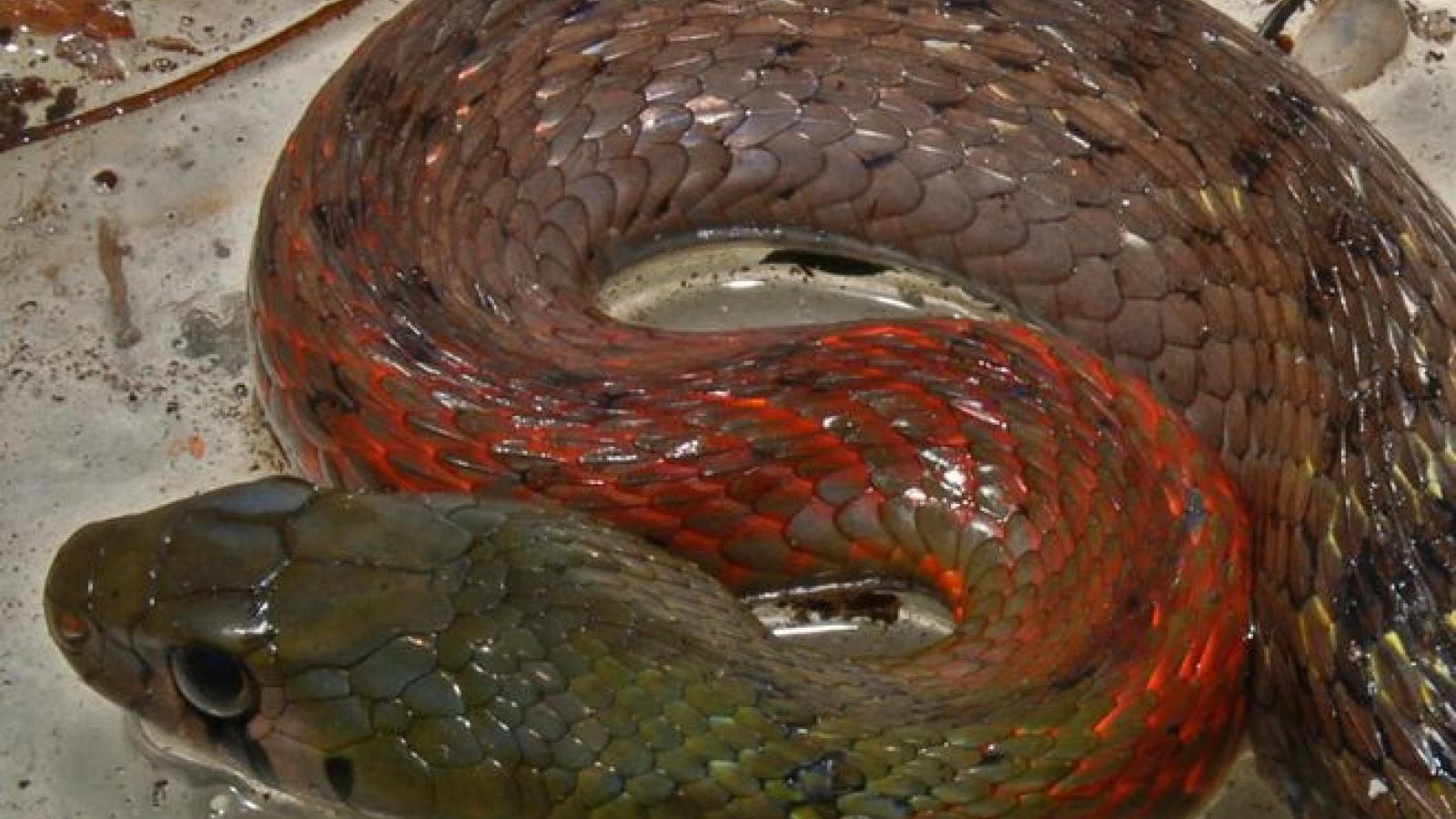 Một bé gái 15 tháng tuổi bị rắn cổ đỏ cắn tử vong