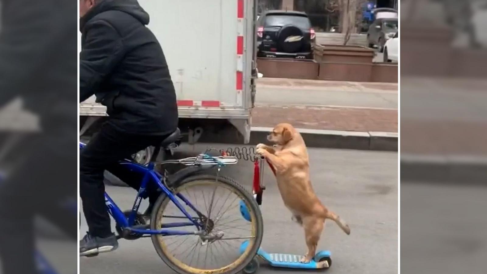 Chú chó giữ thăng bằng trên xe scooter cực kỳ điêu luyện