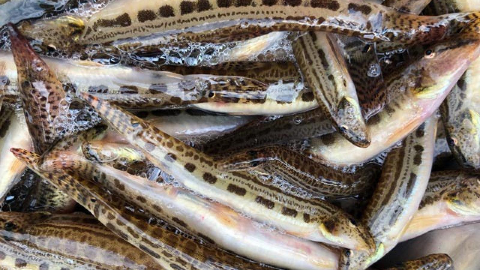 Những loại cá đặc sản ở miền núi, có tiền cũng khó mua