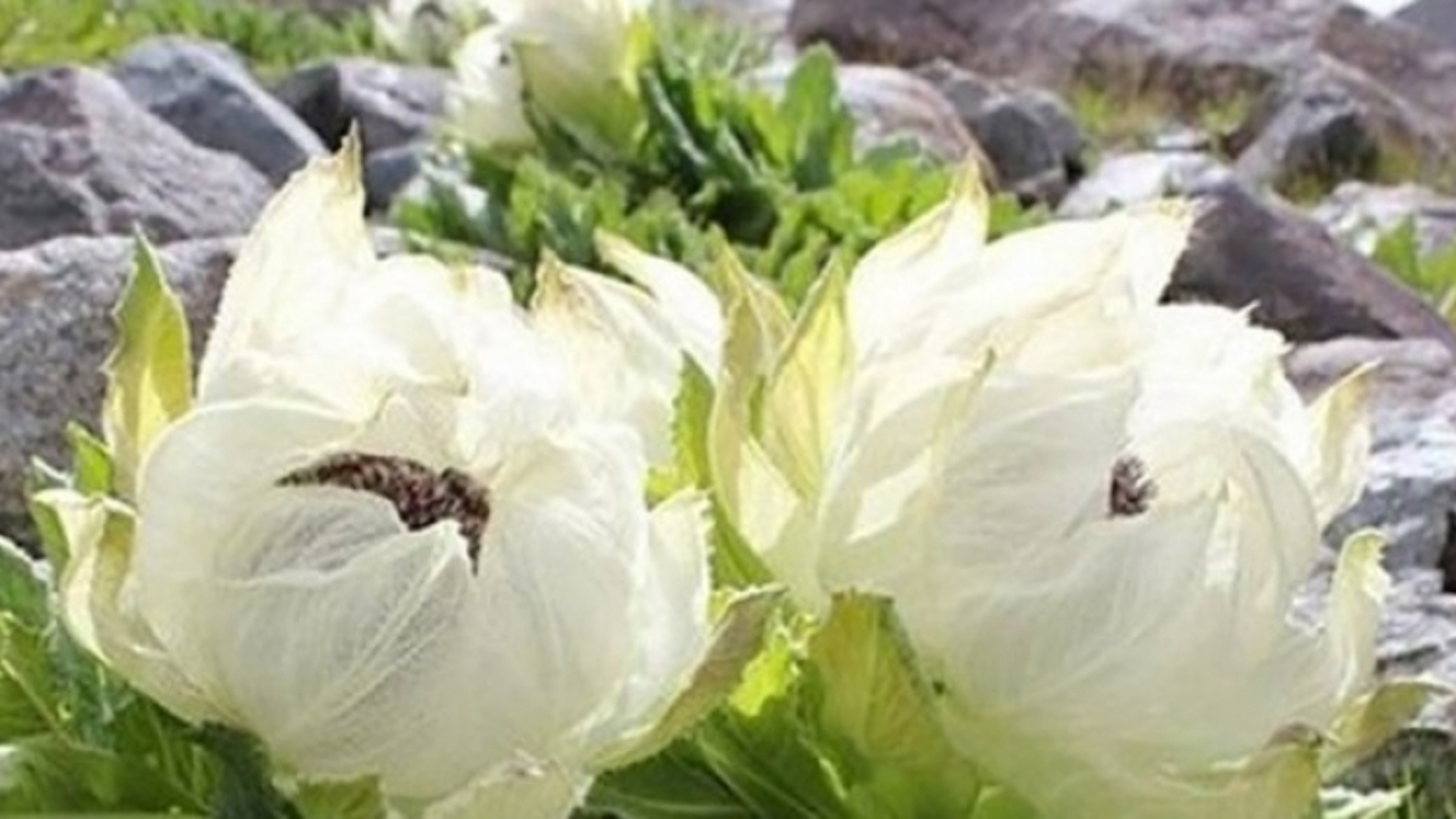 Hội chị em săn tuyết liên hoa được đồn thổi là thần dược cho nhan sắc