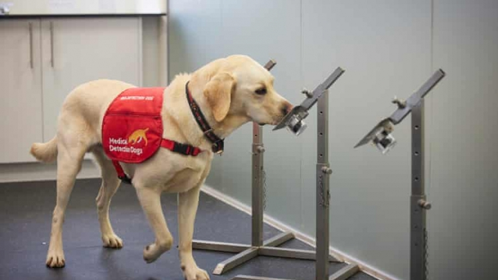 Chó phát hiện SARS-CoV-2 chính xác đến 94%, nhanh hơn xét nghiệm PCR?