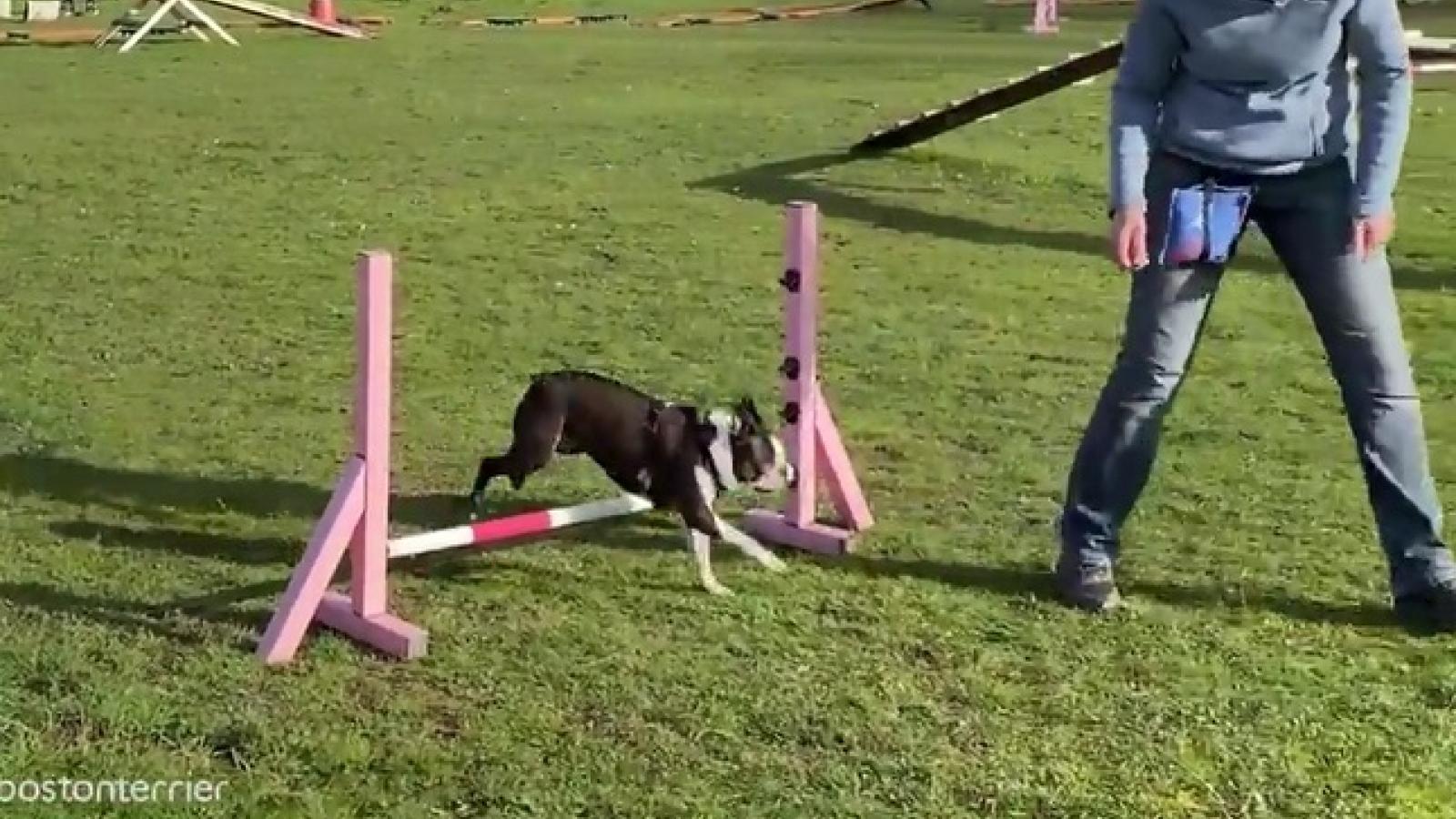 Chú chó mù Boston Terrier vẫn thi đấu thành công trong cuộc thi vượt chướng ngại vật