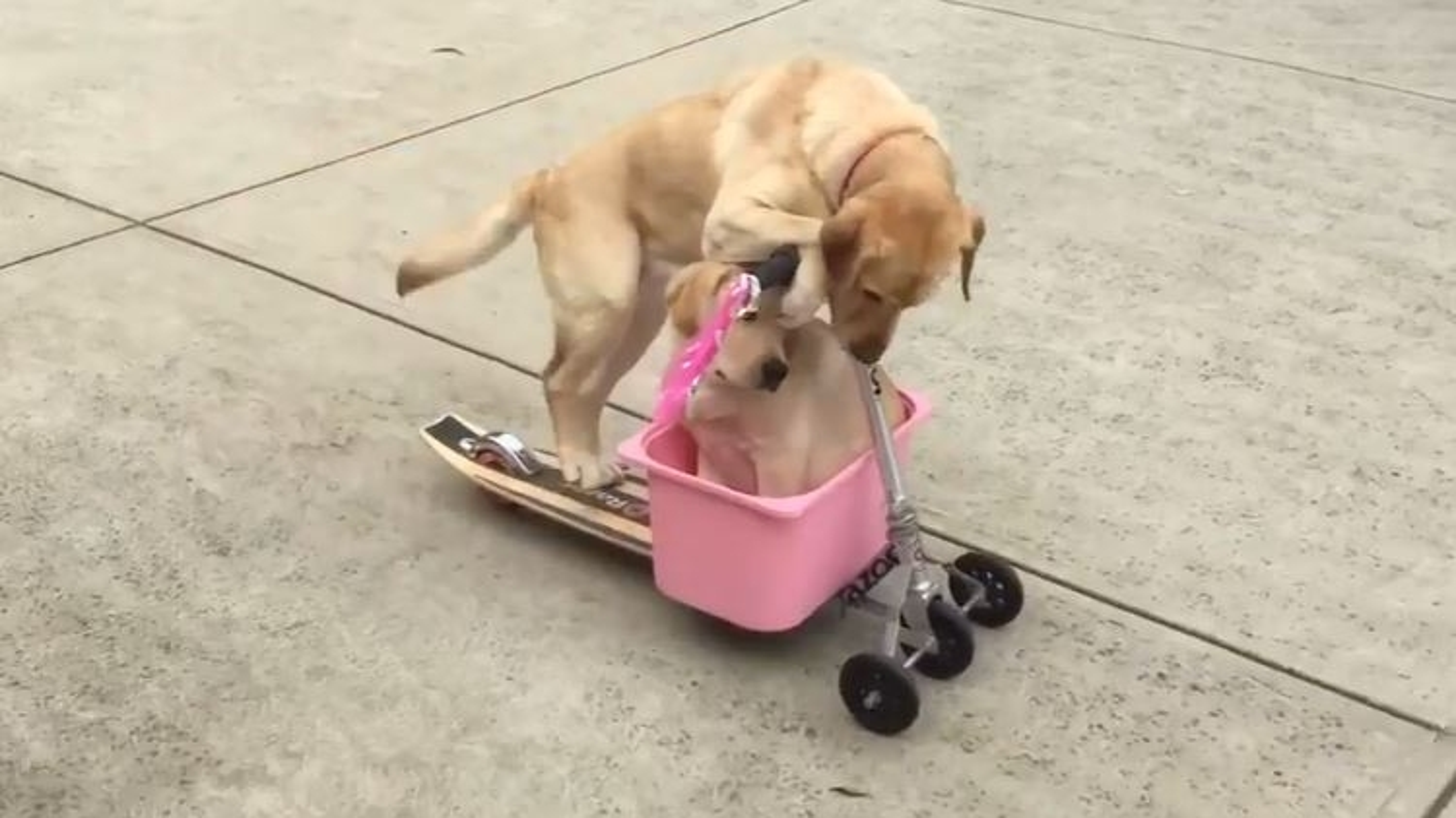 Bật cười trước cảnh tượng đáng yêu khi 2 chú chó vui vẻ chơi trò xe trượt