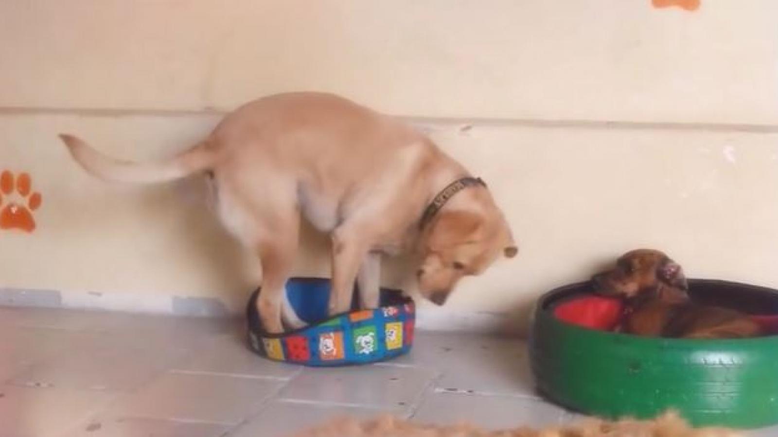 Bật cười trước phản ứng ngạc nhiên của chú chó khi nằm nhầm chỗ