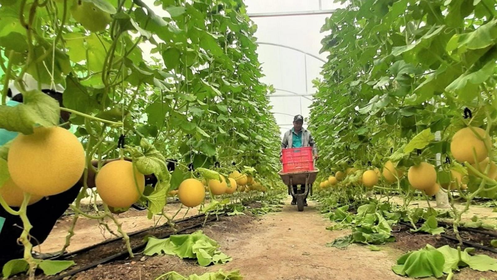 Người dân trồng dưa lưới lo đầu ra do ảnh hưởng dịch Covid-19