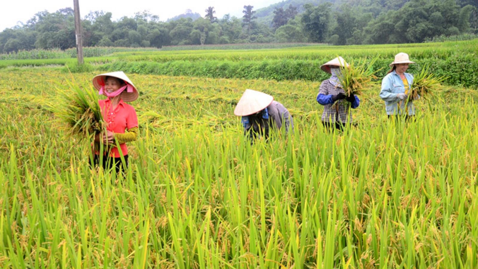 Người dân vùng cách ly y tế thu hoạch lúa như thế nào?