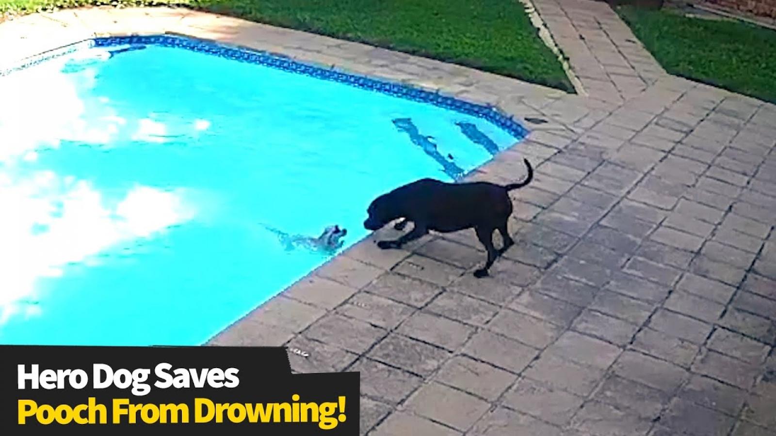 Xúc động chú chó tìm cách cứu bạn của mình khỏi chết đuối