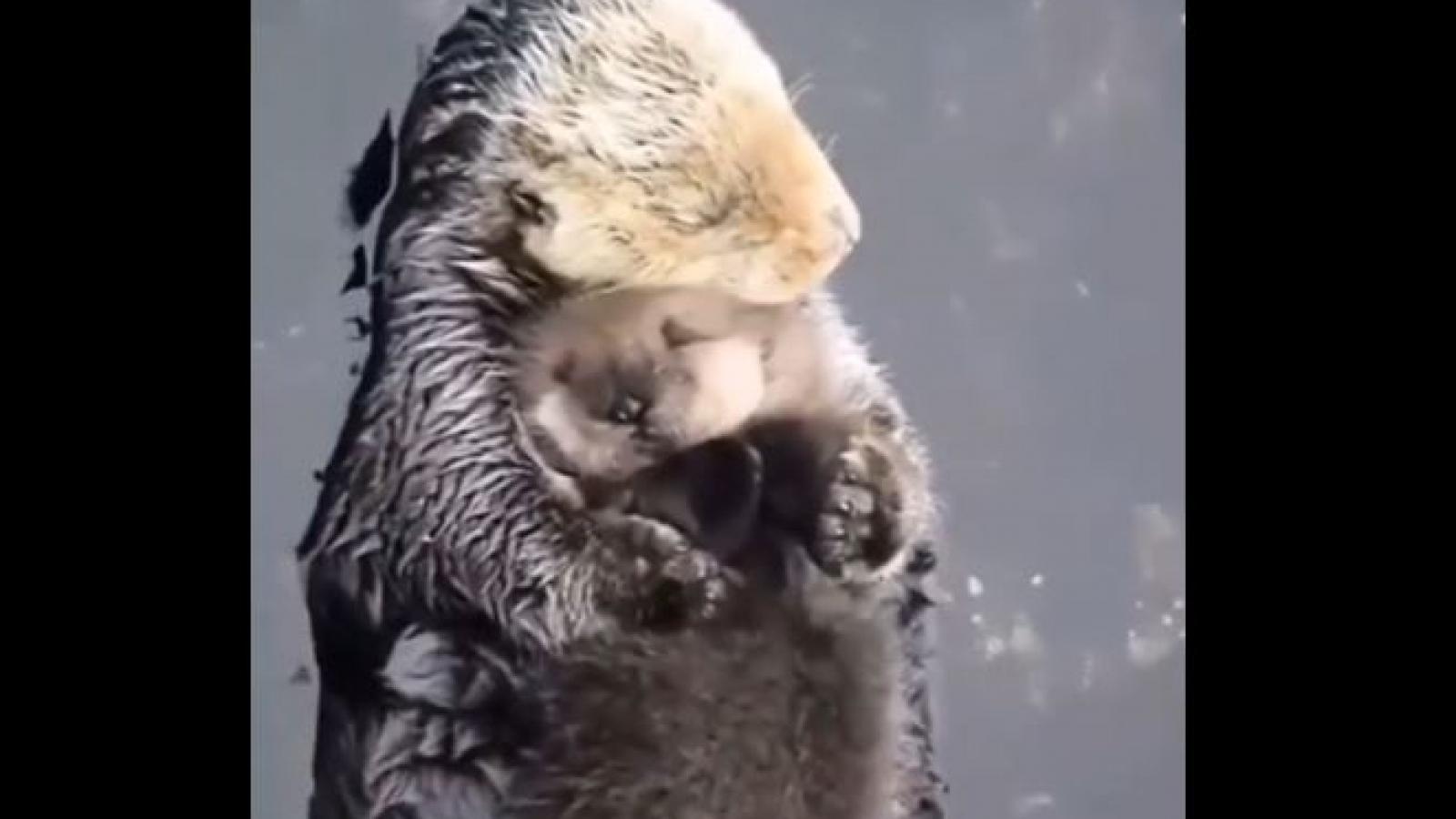 Tan chảy trước khoảnh khắc mẹ con rái cá nằm ôm nhau ngủ trên mặt nước