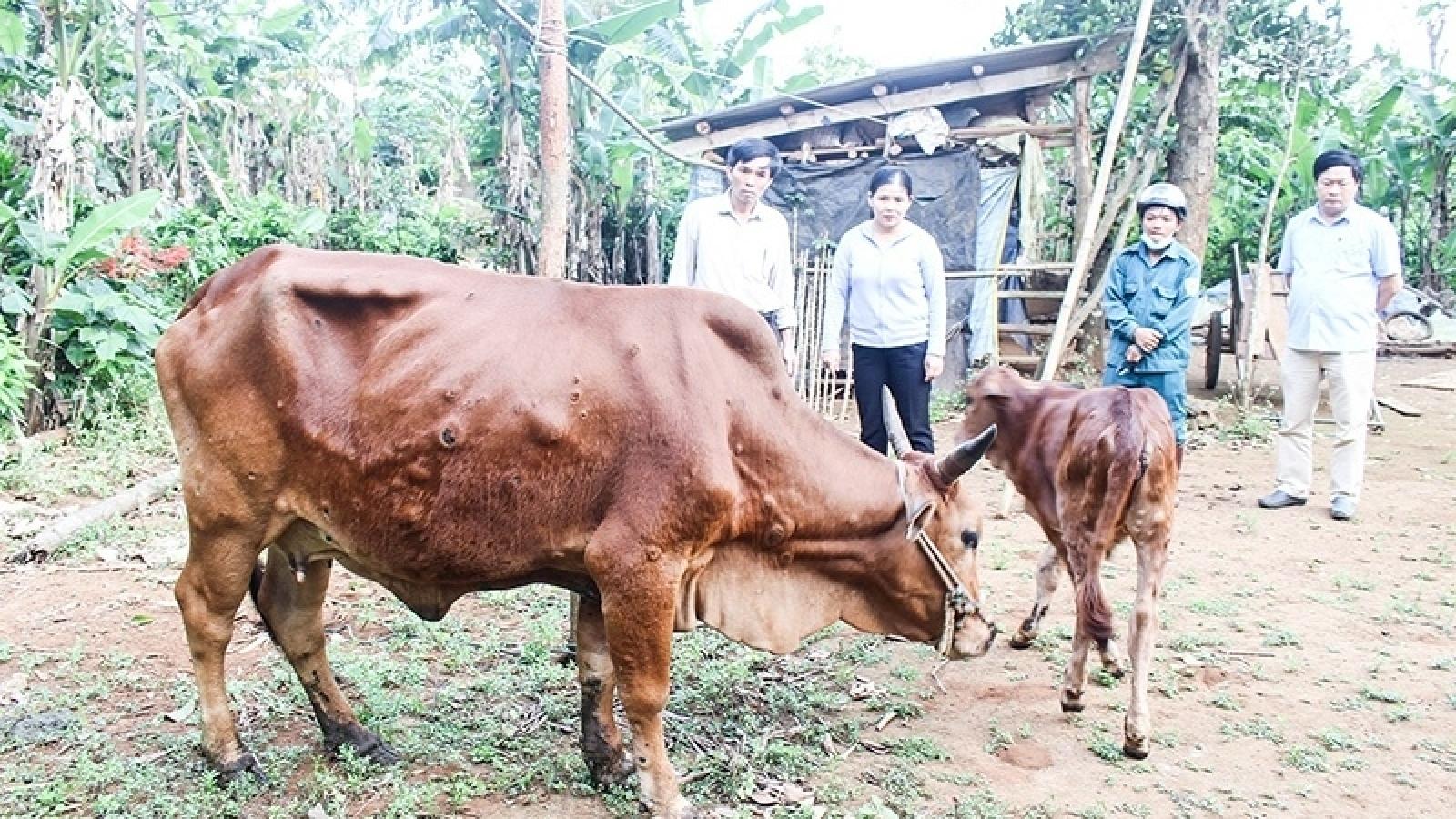 Triển khai quyết liệt các giải pháp phòng, chống bệnh viêm da nổi cục trên trâu, bò
