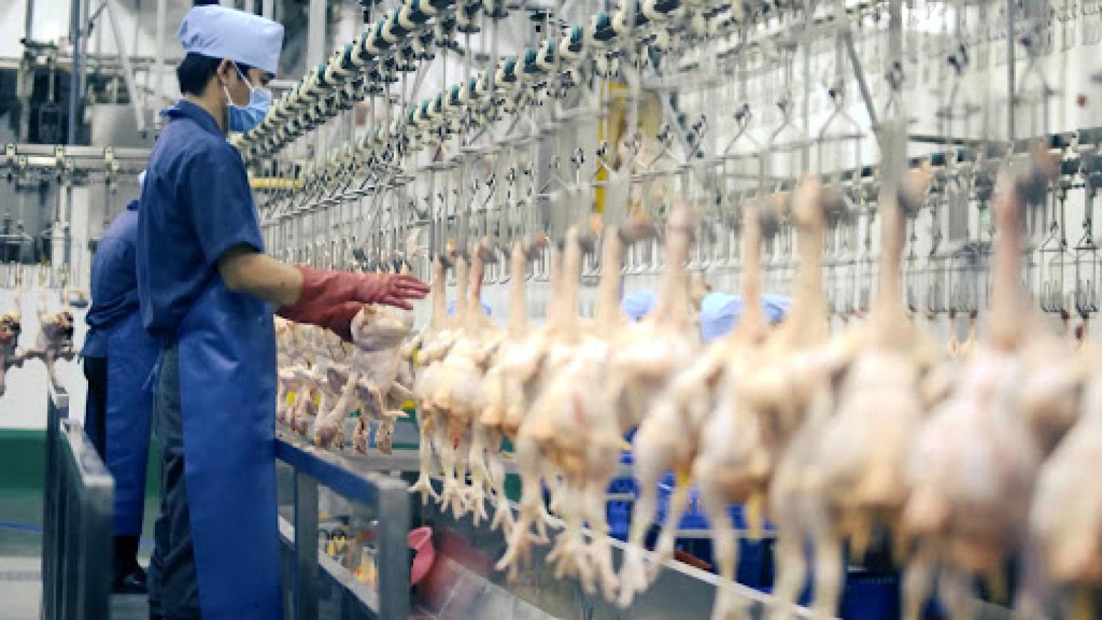 Đầu tư công nghệ cao để mở rộng thị trường xuất khẩu thịt gia cầm