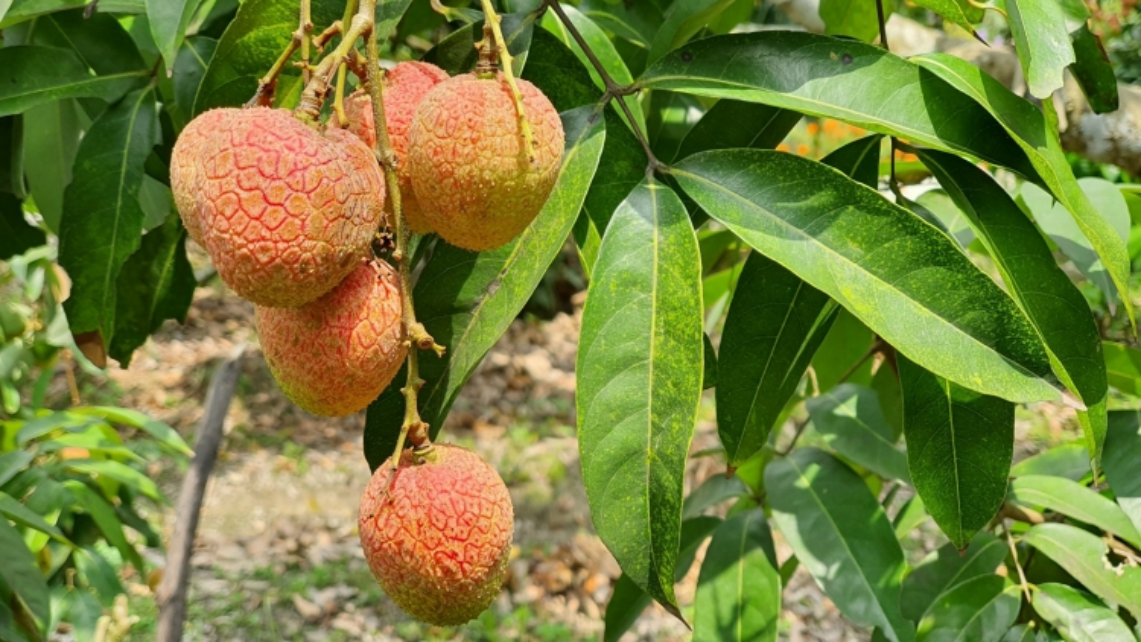 Người trồng vải lên phương án tiêu thụ trong mùa dịch