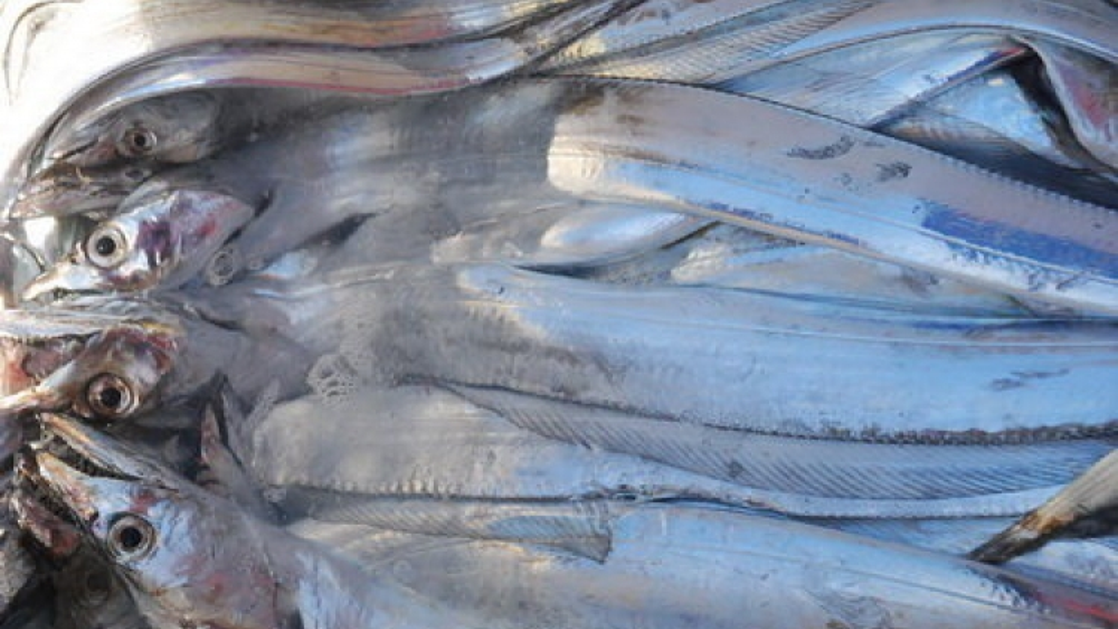"""Cá đặc sản """"tắc đường"""" xuất biên, bán với giá phế phẩm 5.000 đồng/kg"""
