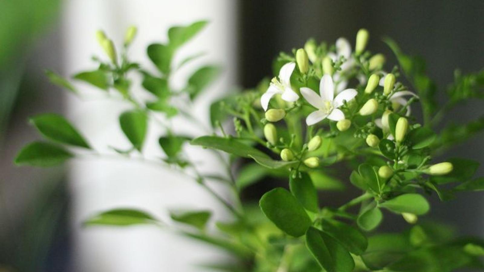 Những loại cây cảnh mang đến hương thơm cho ngôi nhà của bạn