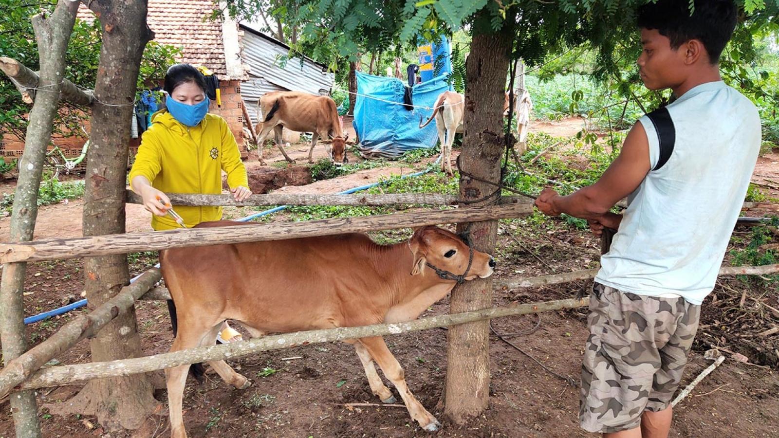 Dịch bệnh viêm da nổi cục trên đàn trâu, bò lây lan nhanh ở Kon Tum