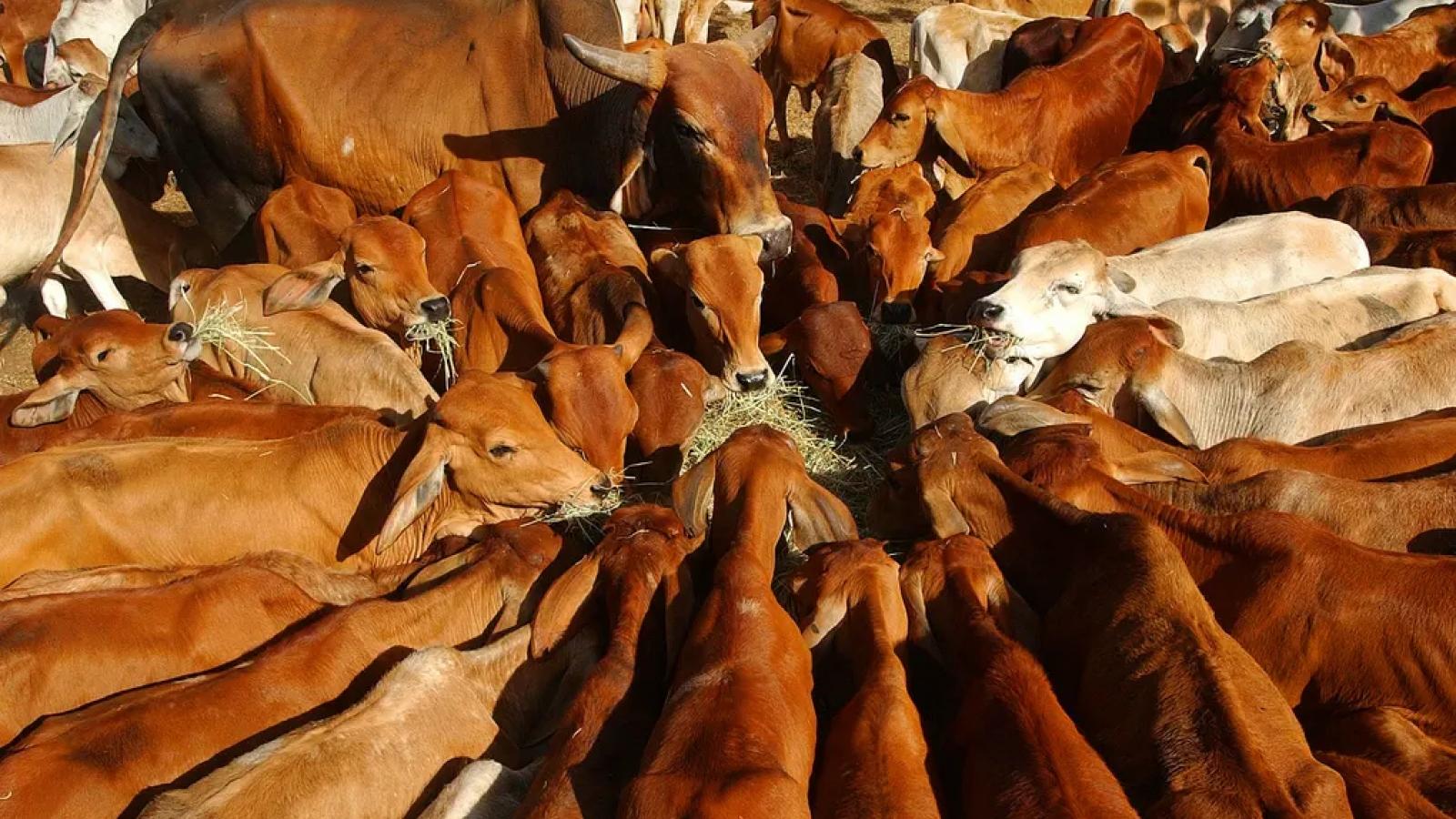 Australia sử dụng chất kích thích tăng trưởng cho gia súc