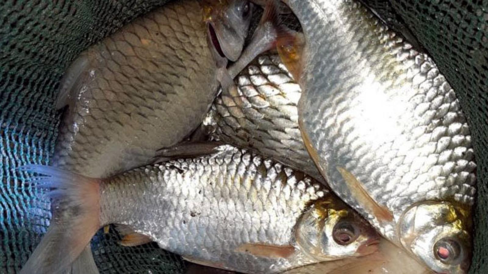 """Loài cá đặc sản tưởng chừng tuyệt chủng bất ngờ """"lên ngôi"""", giá tiền triệu"""