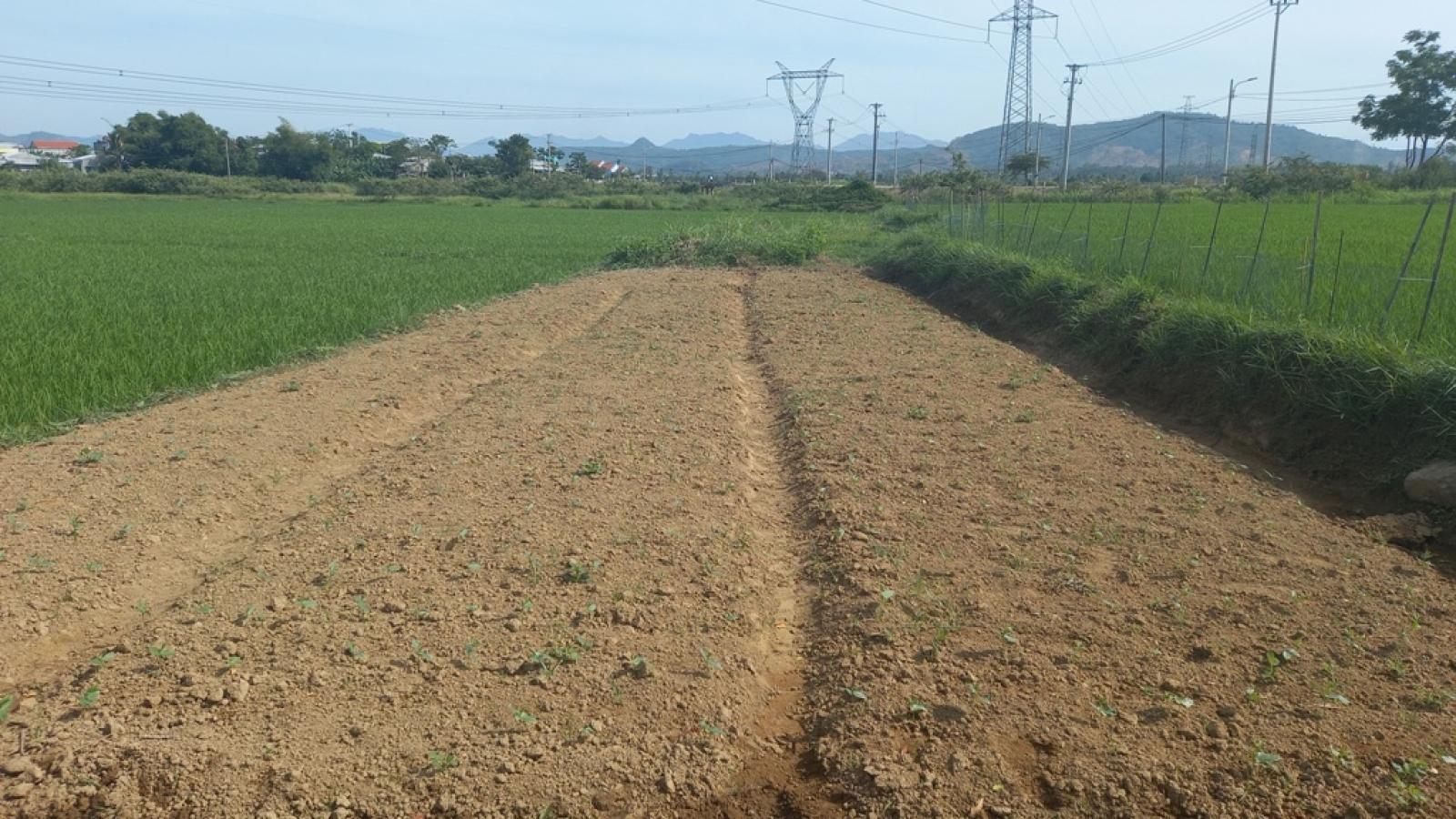 Nắng nóng gay gắt, nhiều ruộng lúa, rau màu có nguy cơ chết khô