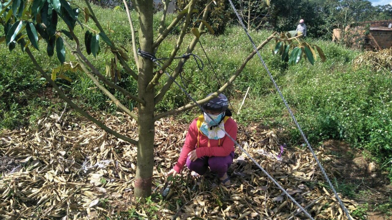 Kẻ gian chặt phá vườn sầu riêng trị giá 700 triệu đồng