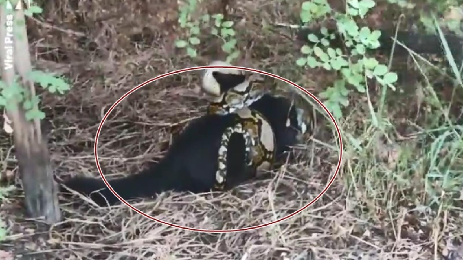 """Video: Trăn hung dữ quấn chặt mèo đen đến ngất xỉu, phải """"hồi sinh tim phổi"""" gấp"""
