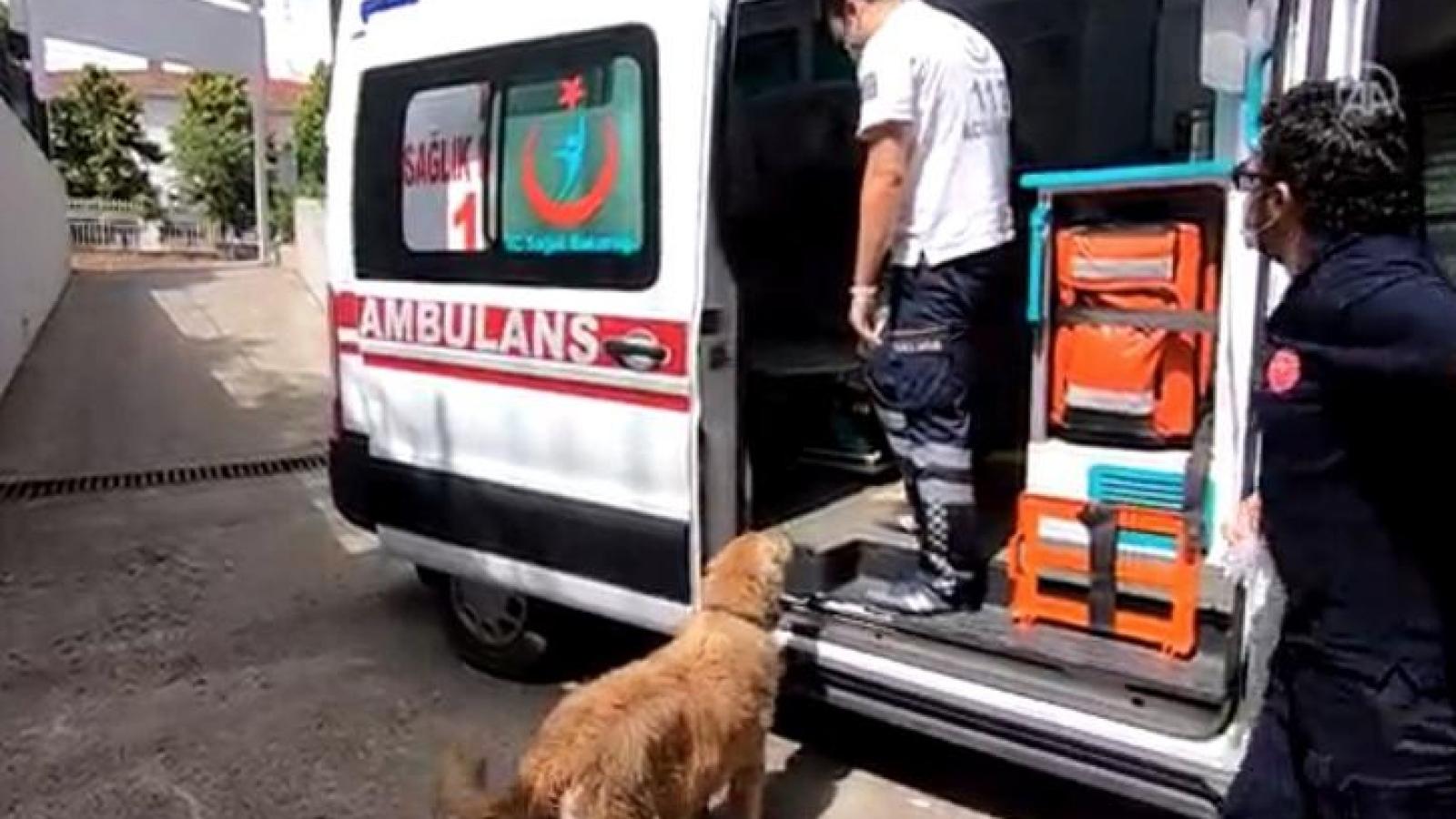 Xúc động cảnh chú chó trung thành đuổi theo xe cấp cứu đưa chủ nhân tới bệnh viện