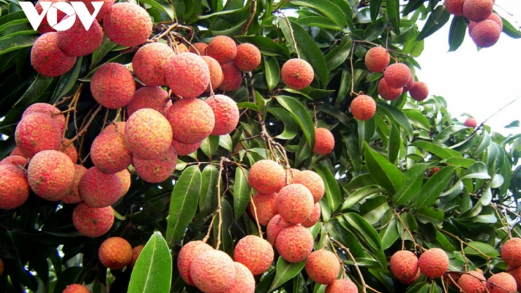 Bac Giang hosts online conference on lychee consumption