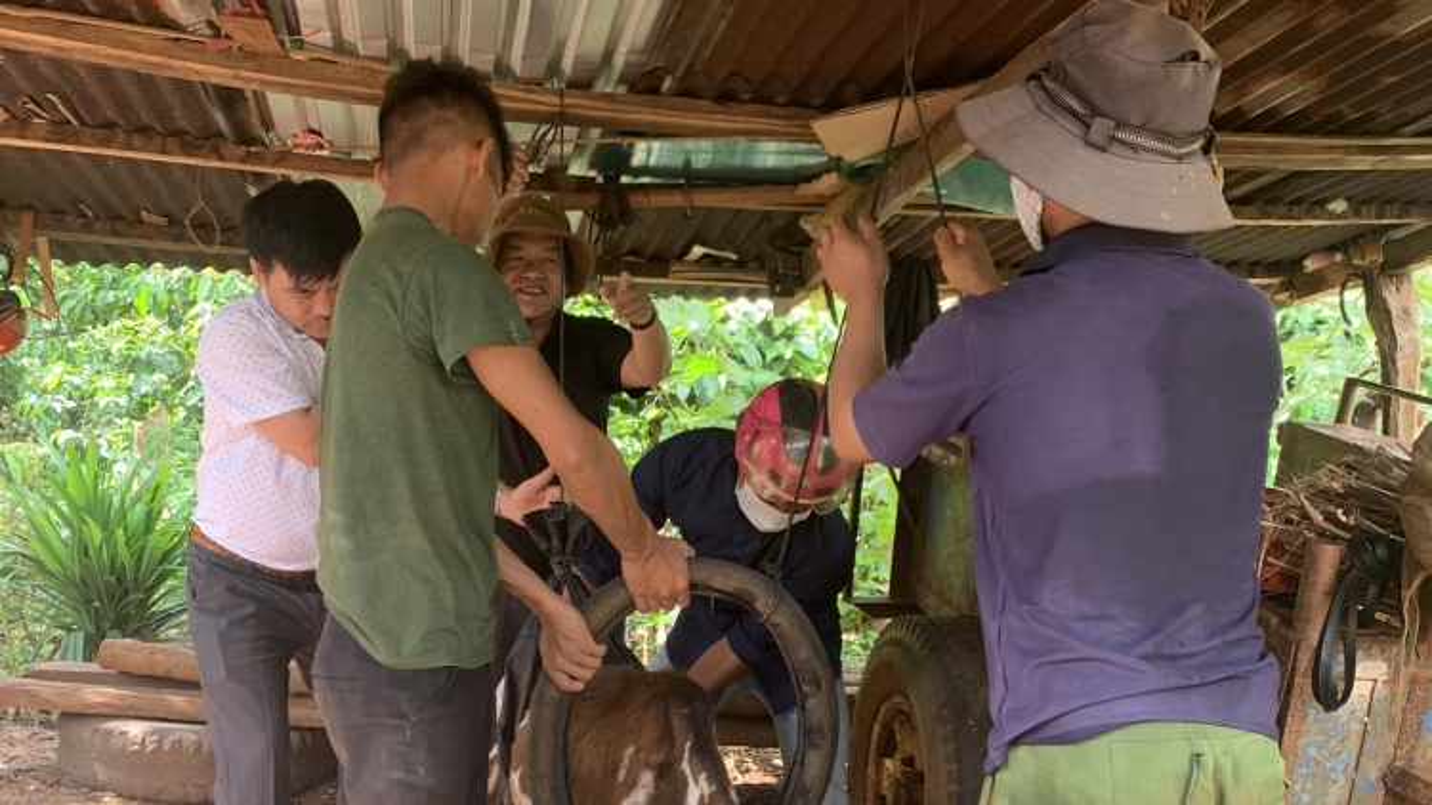 Gia Lai xuất hiện ổ dịch viêm da nổi cục trên trâu bò