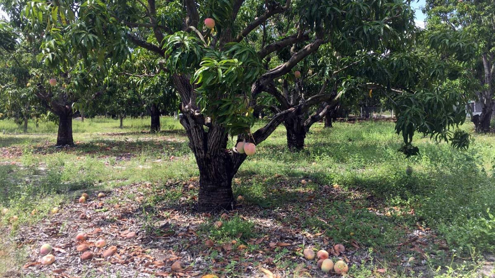 Xoài Úc rớt giá, tiêu thụ chậm nhà nông để rụng đầy gốc