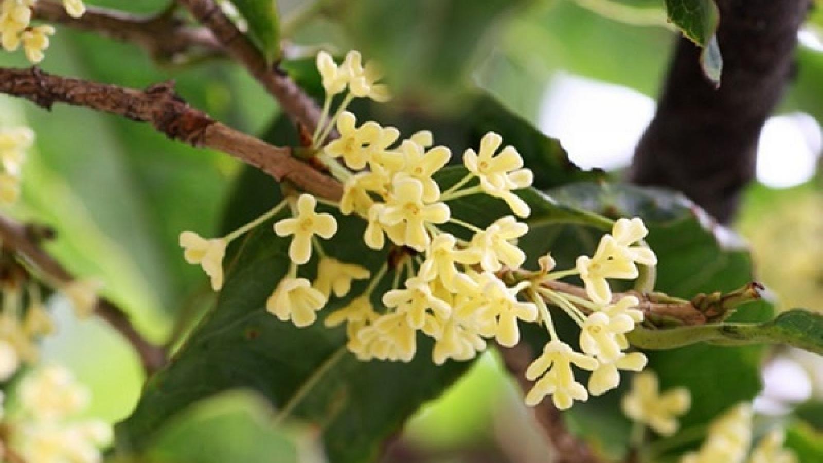 'Cơn sốt' Mộc Hương - loài cây đắt đỏ sánh ngang lan đột biến