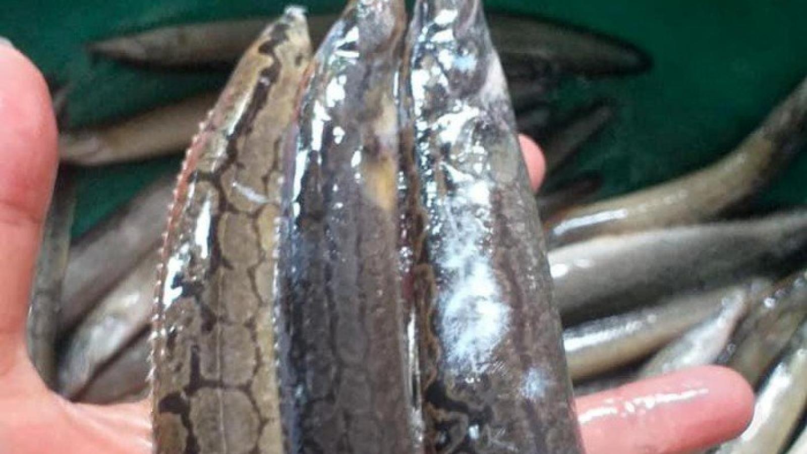 Những loại cá đặc sản sông Đà được thực khách săn tìm