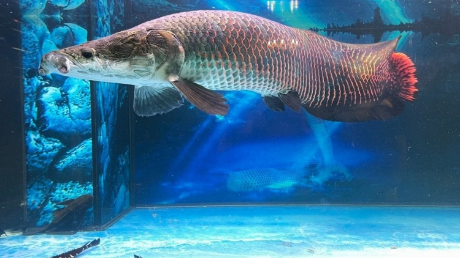 Nuôi loài cá lớn nhất sông Amazon, thú chơi vương giả của đại gia Việt