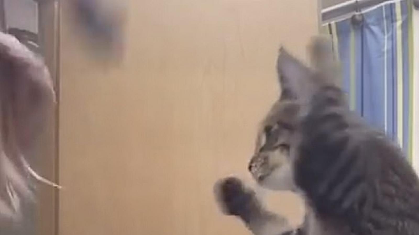 Bật cười khoảnh khắc chú mèo bắt chước động tác chải tóc của cô chủ
