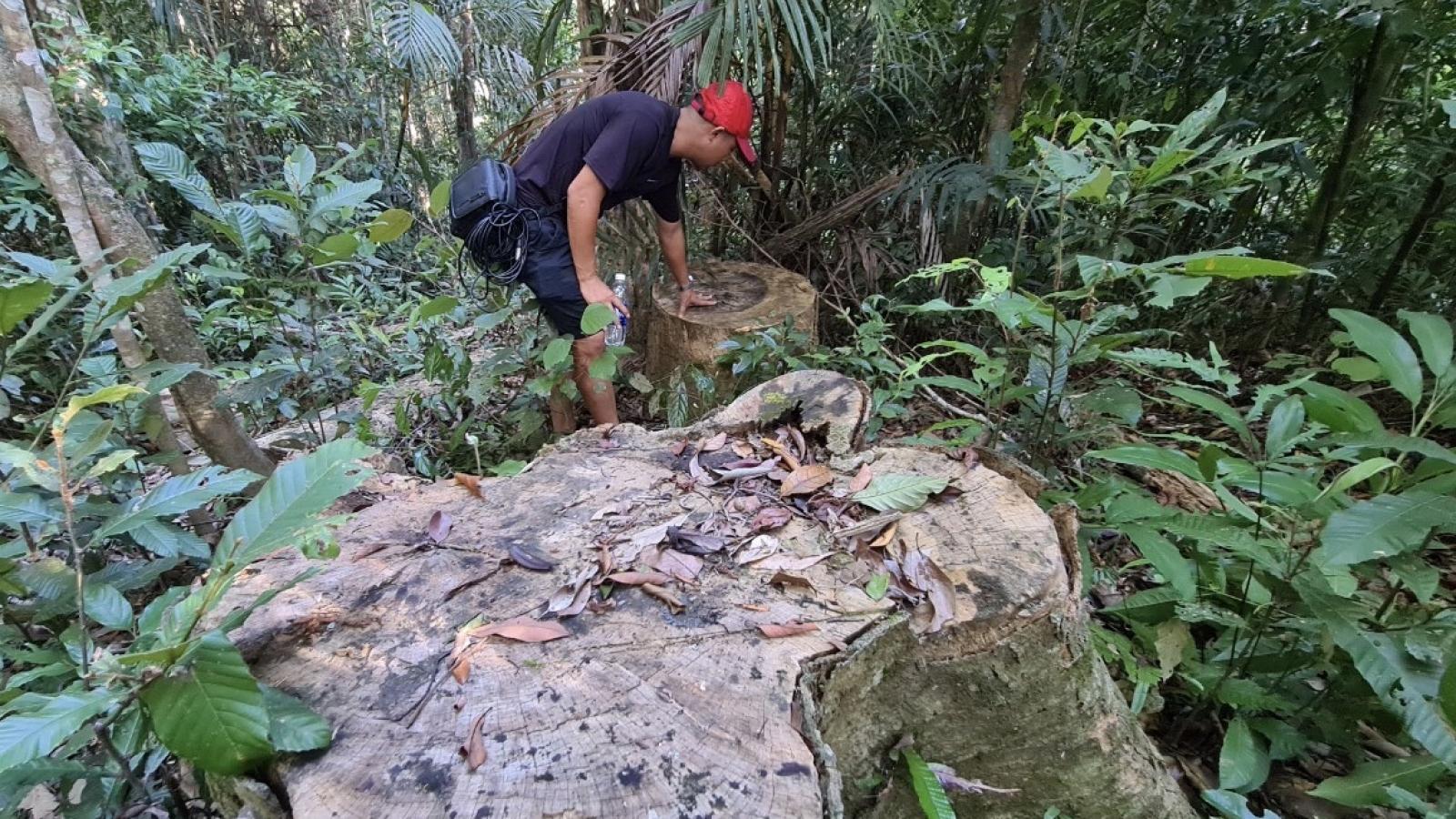 Khởi tố vụ phá rừng cổ thụ ở xã Đăk Roong-Kbang, Gia Lai