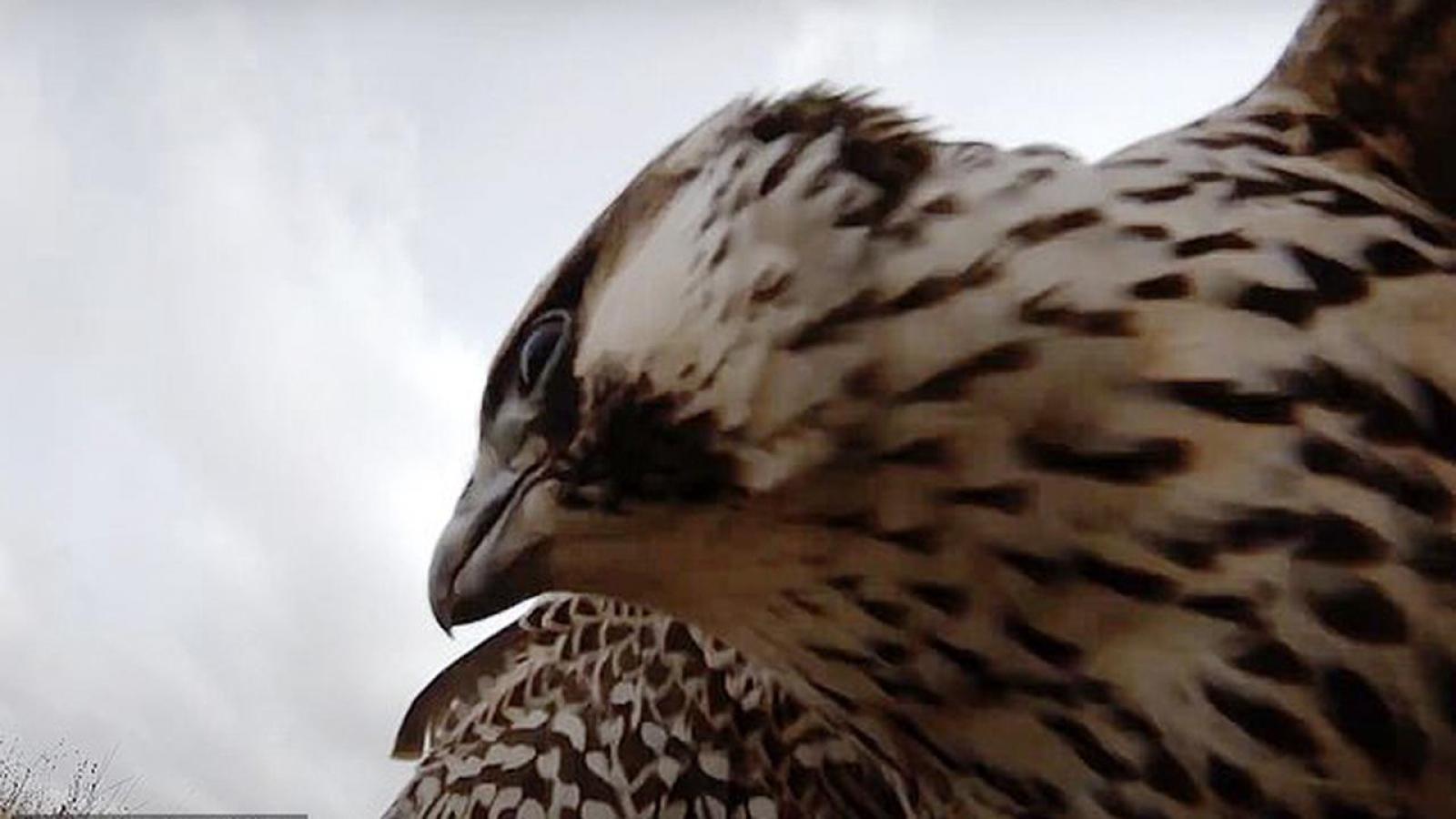 Giật mình trước cảnh chim ưng tấn công máy bay không người lái ở độ cao 700m