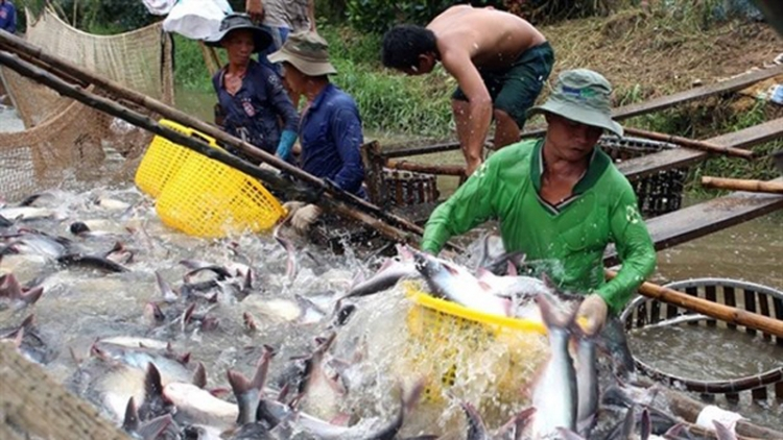 Over 20 Vietnamese basa fish exporters withdraw from EU market