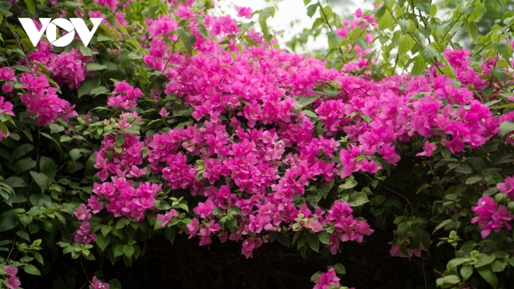 Blossoming Hoa Giay flowers beautify Hanoi during summer