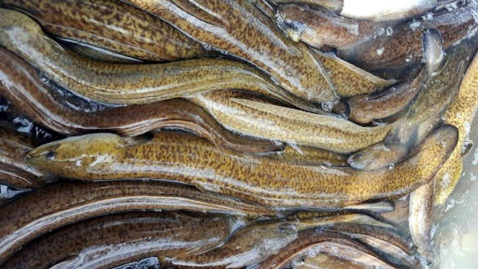 """""""Linh dược"""" cá chình giá nửa triệu đồng/kg đang được săn lùng"""