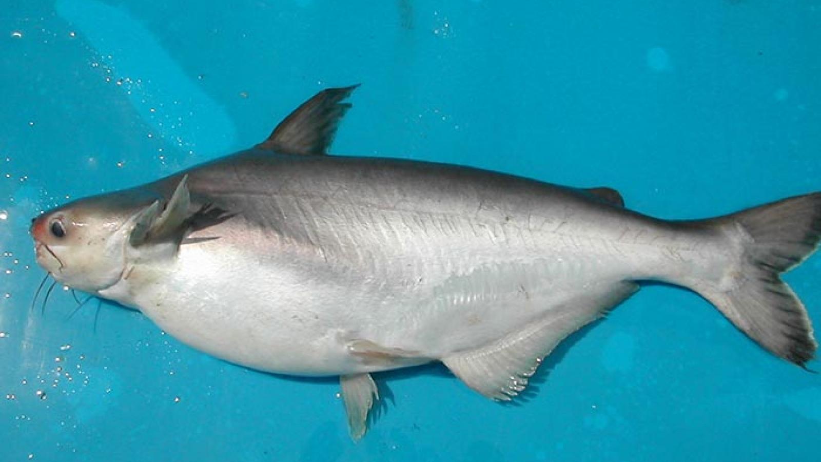 Đặc sản cá dứa thuộc diện hàng hiếm, thương lái lùng mua dù giá đắt đỏ