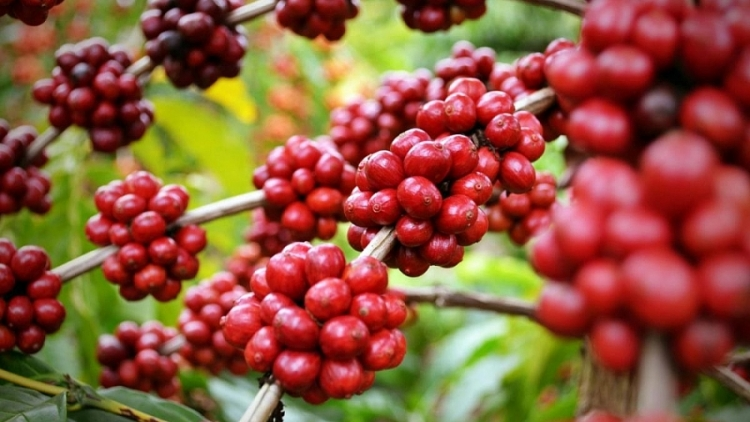 Product quality key to boosting coffee exports to North Europe