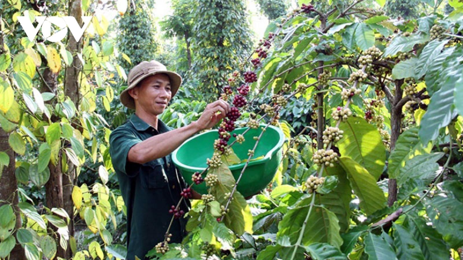 Xuất khẩu cà phê đạt 1,3 tỷ USD, giảm về lượng nhưng giá tăng