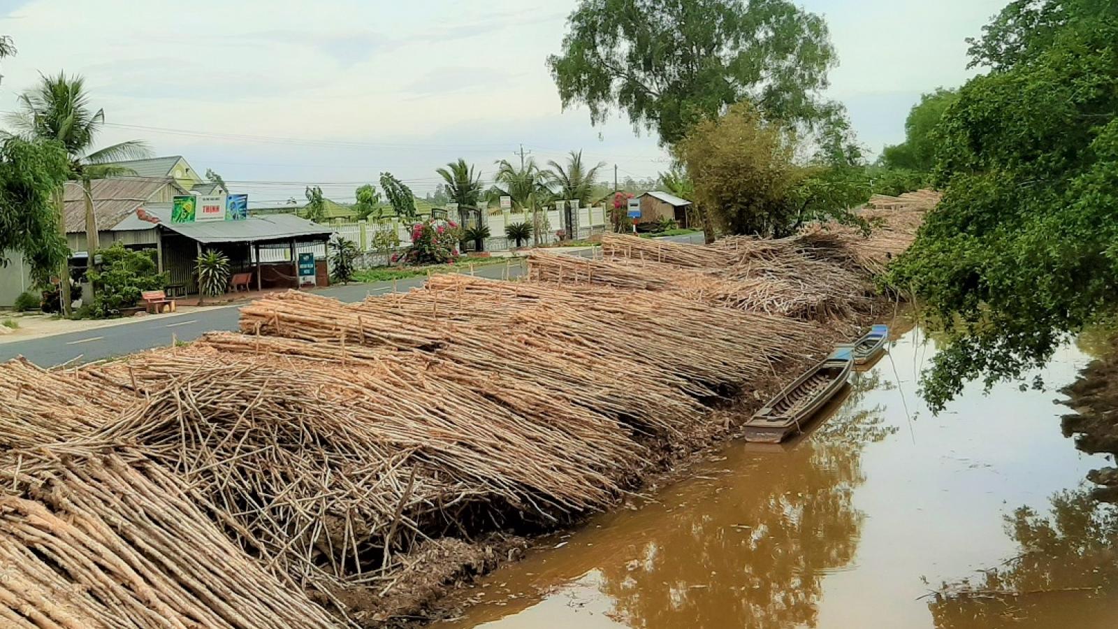 Giá cây tràm tại Cà Mau giảm mạnh, người dân lo lắng