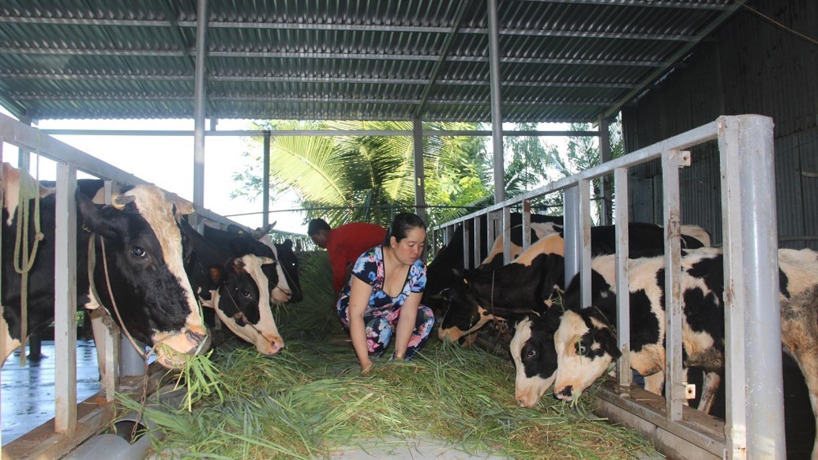 Sau vụ nông dân đổ bỏ sữa bò, Sóc Trăng khẩn trương tháo gỡ khó khăn
