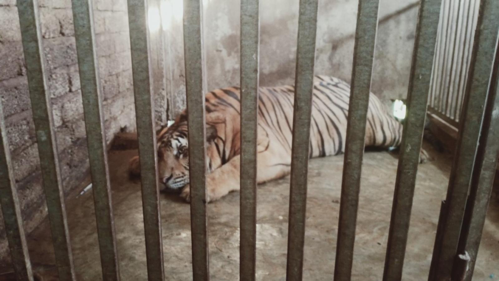 Hộ gia đình công an bán chuyên trách ở Nghệ An nuôi trái phép 3 con hổ