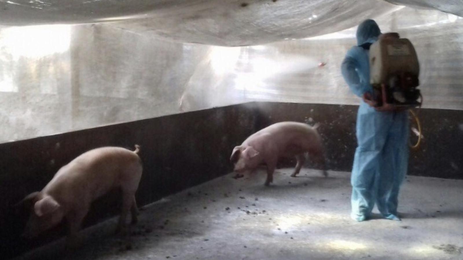 Phát hiện lợn bị nhiễm bệnh dịch tả lợn Châu Phi tại Bạc Liêu