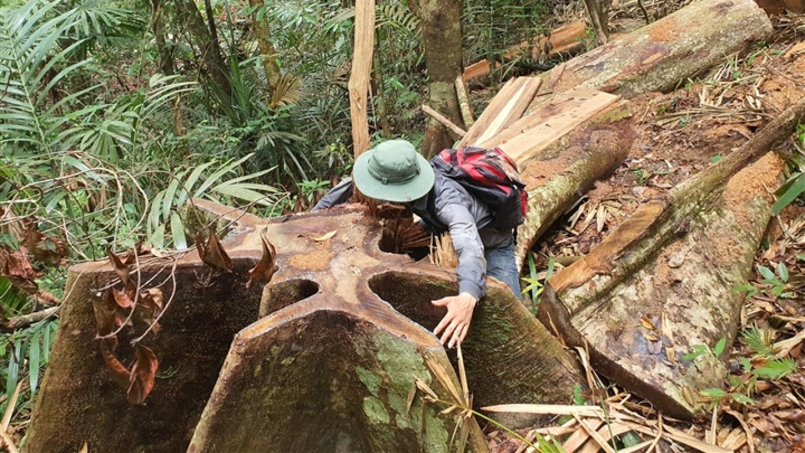 """Ảnh: Lợi dụng dịch, lâm tặc """"xẻ thịt"""" cây cổ thụ trong rừng tự nhiên Đắk Lắk"""