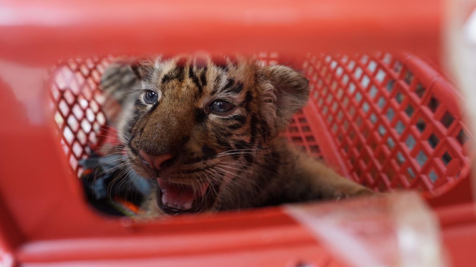 Chùm ảnh: Bàn giao 7 cá thể Hổ Đông Dương cho vườn quốc gia Pù Mát