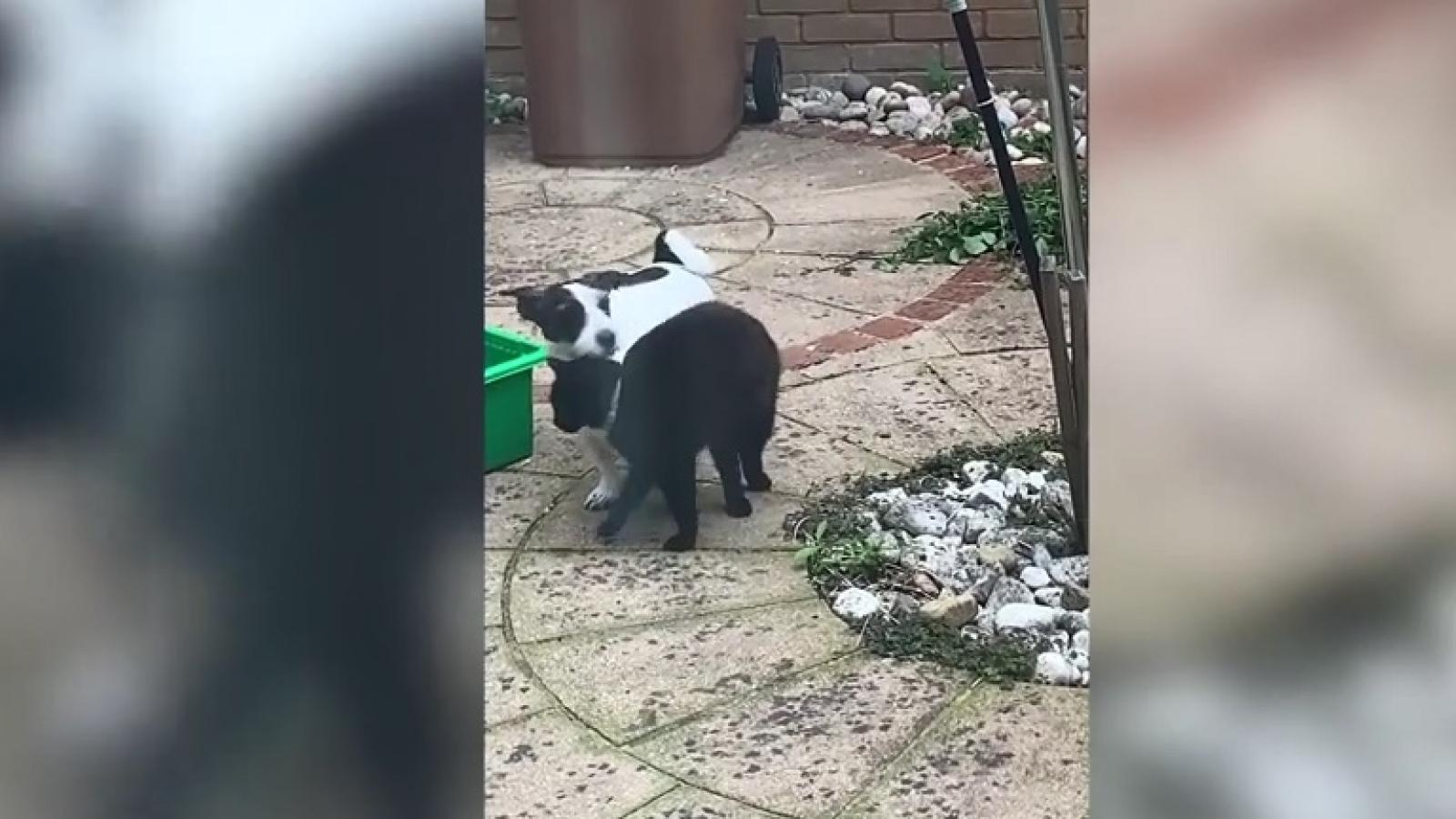 Video: Tình bạn thân thiết giữa chó và mèo hàng xóm