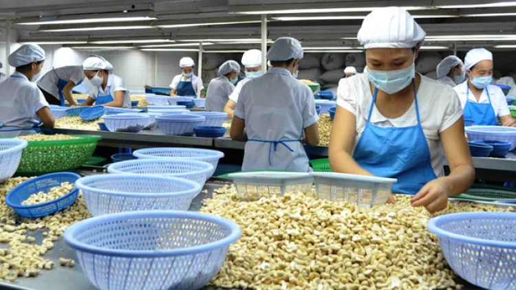 Cashew nut exports projected to enjoy positive growth in third quarter